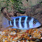 African Blue Moba Frontosa Cichlid (click for more detail)