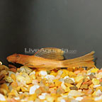 Red Longfin Bristlenose Plecostomus (click for more detail)
