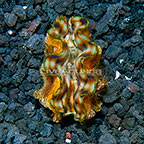 Biota Cultured Squamosa Clam (click for more detail)