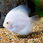 Snow White Discus [Blemish] (click for more detail)