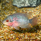 Flowerhorn Cichlid (click for more detail)