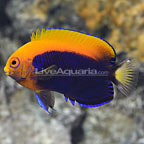 African Flameback Angelfish [Blemish] (click for more detail)