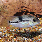 Pendex Cichlid (click for more detail)