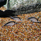 Long-Nosed Skunk Cory Catfish (Group of 3) (click for more detail)