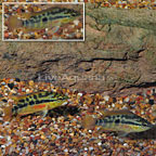 Salvini Cichlid (Group of 3) (click for more detail)