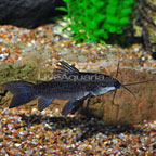 Large Brown Hoplo Catfish (click for more detail)