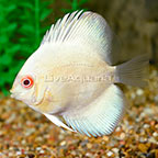 Albino Blue Diamond Discus (click for more detail)