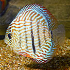 Super Red Turquoise Discus (click for more detail)