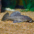 Marble Chubby Plecostomus (click for more detail)