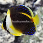 Bali Captive-Bred Scribbled Angelfish Juvenile (click for more detail)
