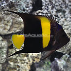 Red Sea Asfur Angelfish Adult (click for more detail)