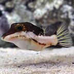 Smithae Bicolor Toby Puffer (click for more detail)