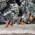 Pajama Cardinalfish (Trio)  (click for more detail)