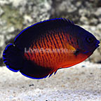 Coral Beauty Angelfish  (click for more detail)