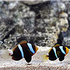 Bali Captive-Bred Orange-fin Anemonefish (Bonded Pair) (click for more detail)