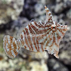 Zebra Radial Filefish Male (click for more detail)
