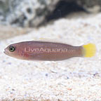 Horseshoe Tailed Dottyback Female (click for more detail)