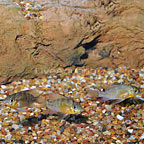 Bolivian Ram Cichlid (Group of 3) (click for more detail)