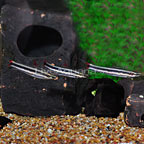 Striped Anostomus (Group of 3) (click for more detail)