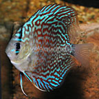 Blue Turquoise Discus (click for more detail)