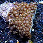 Triathlon and Green Eye Colony Polyp Rock Zoanthus Indonesia IM (click for more detail)