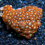 Eye of the Storm and Bam Bam Orange Colony Polyp Rock Zoanthus Indonesia IM (click for more detail)