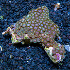 Pink Eye Colony Polyp Rock Zoanthus Indonesia IM (click for more detail)