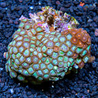 Encounter and Double Trouble Colony Polyp Rock Zoanthus Indonesia IM (click for more detail)