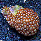 Ultra Horizons and Starfire Colony Polyp Rock Zoanthus Indonesia IM (click for more detail)