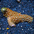 Combo Colony Polyp Rock Zoanthus Indonesia (click for more detail)