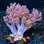 Tree Coral Indonesia (click for more detail)