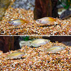 Boesemani Rainbowfish (Group of 5) (click for more detail)