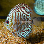 Red Tiger Discus (click for more detail)