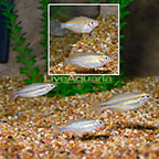 Goyder River Trifasciata Rainbowfish (Group of 5) (click for more detail)
