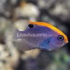 Ocellate Damselfish (click for more detail)