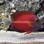 White Tail Bristletooth Tang Adult (click for more detail)