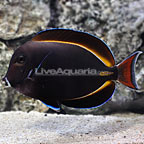 Achilles Goldrim Tang Hybrid [Expert Only] (click for more detail)