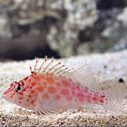 Mexican Coral Hawkfish (click for more detail)