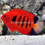 Large Flame Angelfish  (click for more detail)