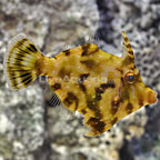 Bristletail Filefish Female (click for more detail)