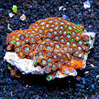 Fire and Ice and Radioactive Dragon Eye Colony Polyp Rock Zoanthus Indonesia IM (click for more detail)