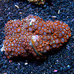 Horizons Colony Polyp Rock Zoanthus Indonesia IM (click for more detail)