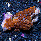 Lunar Eclipse Colony Polyp Rock Zoanthus Indonesia IM (click for more detail)