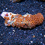 Creamsicle and Radioactive Dragon Eye Colony Polyp Rock Zoanthus Indonesia IM (click for more detail)