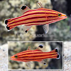 Caribbean Swissguard Basslet (Bonded Pair)  (click for more detail)