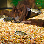 South American Puffer (Group of 3) (click for more detail)