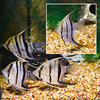 Dumerilii Angelfish (Group of 4) (click for more detail)