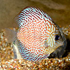 Leopard Discus (click for more detail)