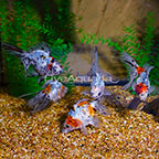 Calico Ryukin Goldfish (Group of 5) (click for more detail)