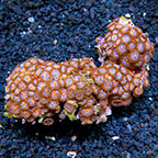 Clown Paint Colony Polyp Rock Zoanthus Indonesia IM (click for more detail)
